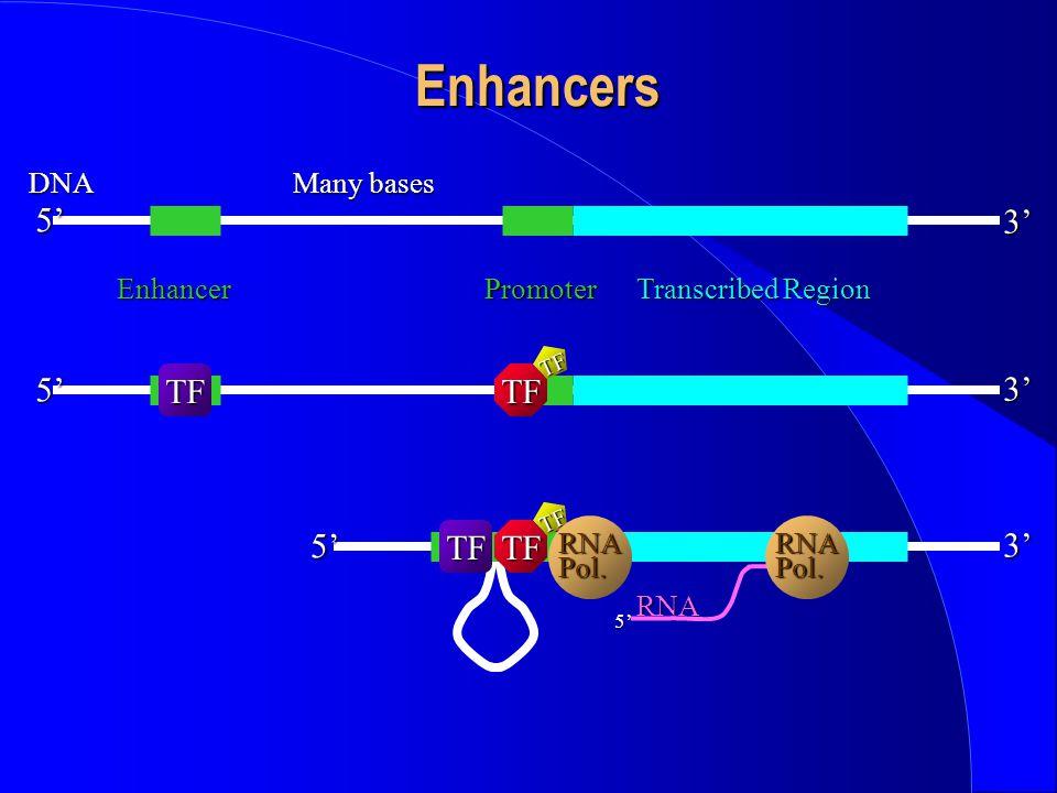 5'DNA3' Enhancers Enhancer Transcribed Region 3' 5' TFTF TF 3'5' TFTF TF 5' RNA RNAPol.RNAPol. Many bases Promoter