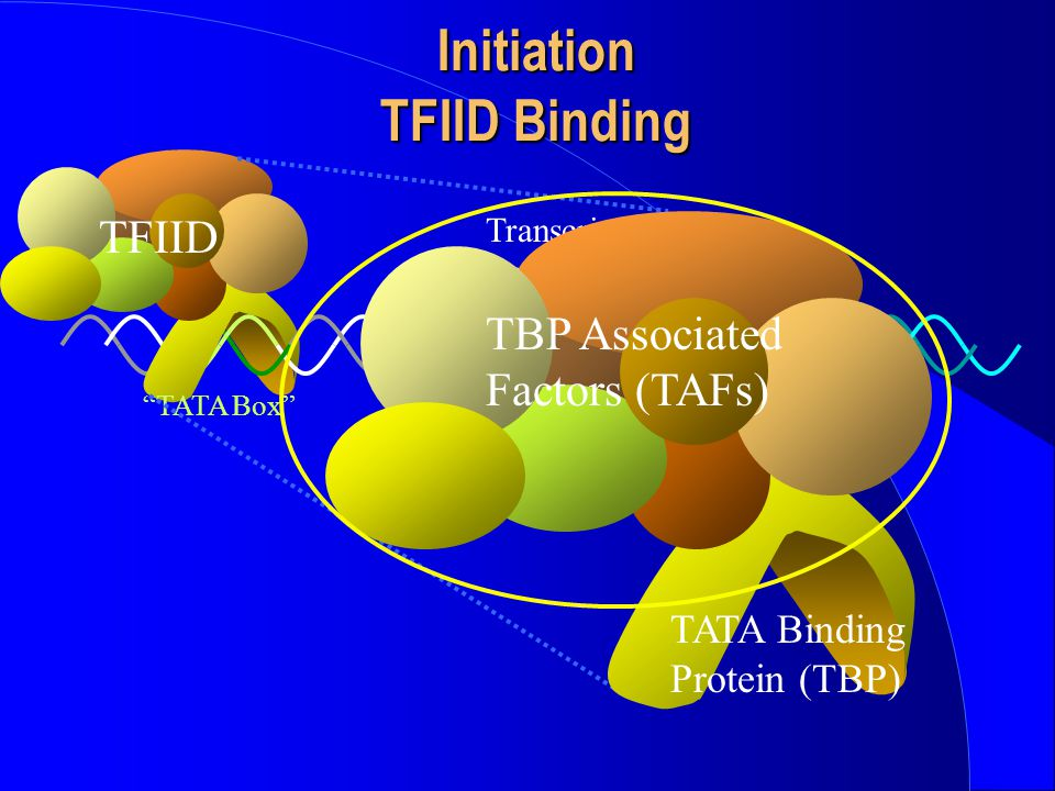 "Initiation TFIID Binding -1+1 Transcription start site TFIID ""TATA Box"" TBP Associated Factors (TAFs) TATA Binding Protein (TBP)"