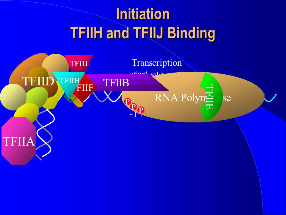 Initiation TFIIH and TFIIJ Binding TFIID TFIIA -1+1 Transcription start site RNA Polymerase TFIIB TFIIF TFIIE TFIIH P P P TFIIJ