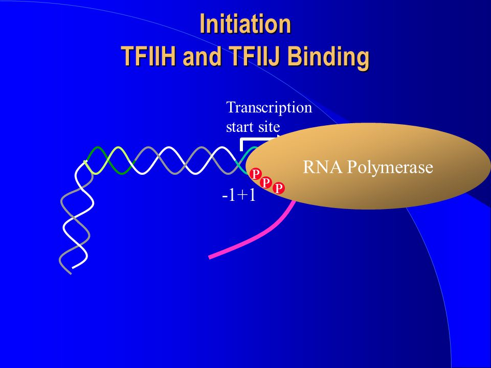 Initiation TFIIH and TFIIJ Binding -1+1 Transcription start site RNA Polymerase P P P