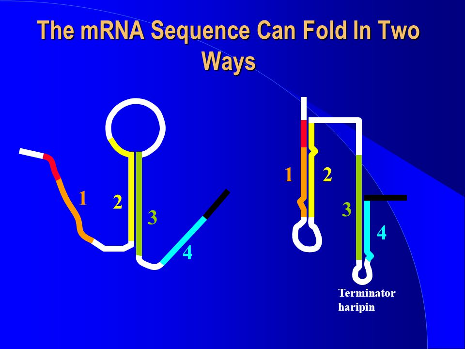 The mRNA Sequence Can Fold In Two Ways 4 1 2 3 Terminator haripin 4 12 3