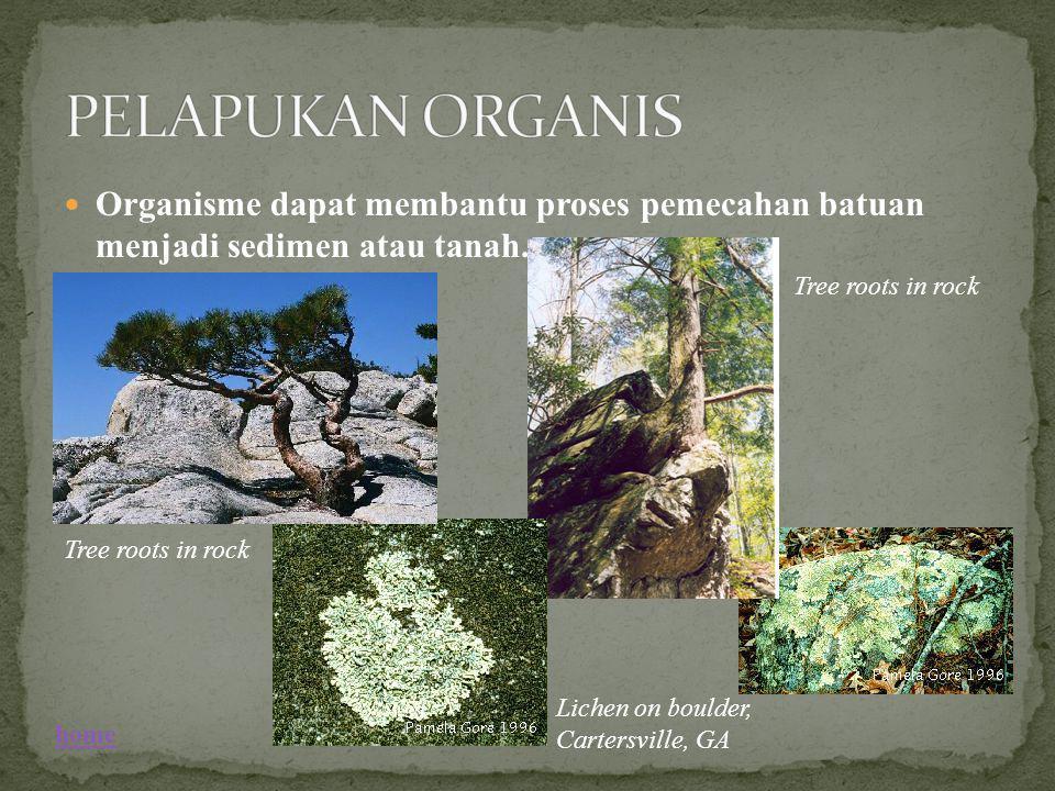 Organisme dapat membantu proses pemecahan batuan menjadi sedimen atau tanah. Tree roots in rock Lichen on boulder, Cartersville, GA Tree roots in rock