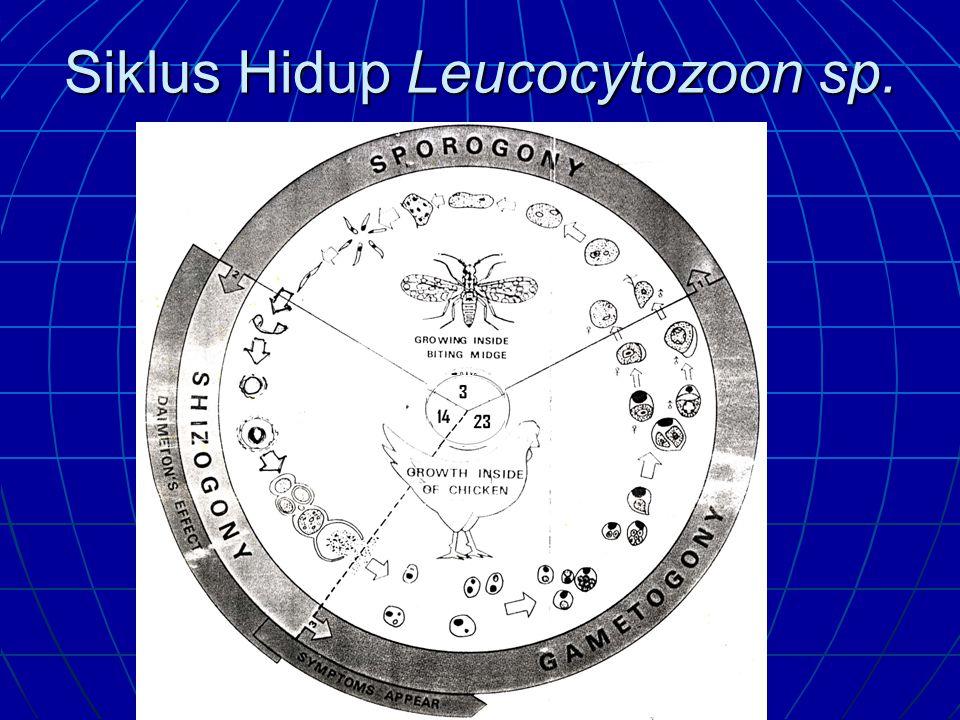 Leucocytozoonosis (Malaria-Like) Penyebab: L. caulleryi, L.sabrozesi (ayam) L. simondi (itik) dan L. smiti (kalkun) L. simondi (itik) dan L. smiti (ka
