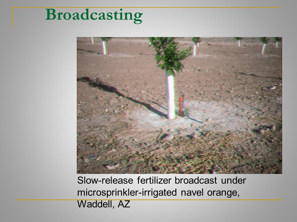 Broadcasting Slow-release fertilizer broadcast under microsprinkler-irrigated navel orange, Waddell, AZ