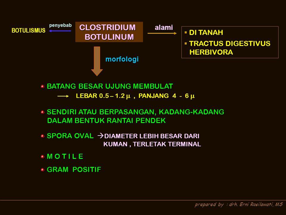 prepared by : drh. Erni Rosilawati, MS alami  DI TANAH  TRACTUS DIGESTIVUS HERBIVORA HERBIVORA morfologi BATANG BESAR UJUNG MEMBULAT BATANG BESAR UJ