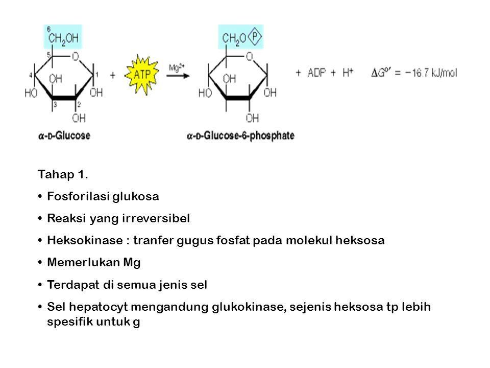 Tahap 1. Fosforilasi glukosa Reaksi yang irreversibel Heksokinase : tranfer gugus fosfat pada molekul heksosa Memerlukan Mg Terdapat di semua jenis se