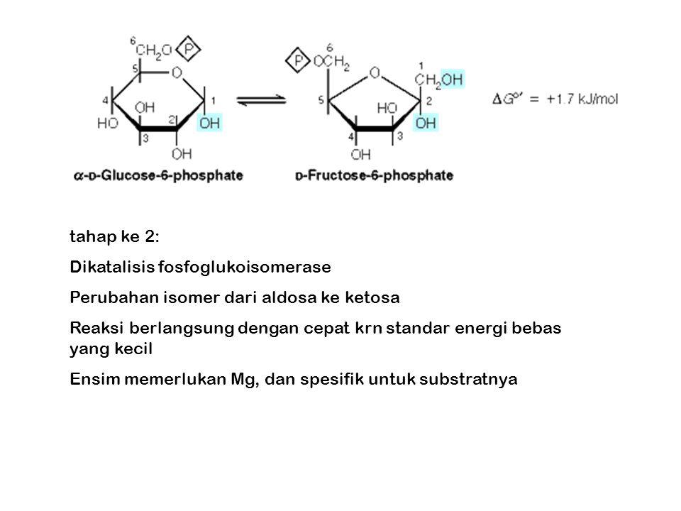 tahap ke 2: Dikatalisis fosfoglukoisomerase Perubahan isomer dari aldosa ke ketosa Reaksi berlangsung dengan cepat krn standar energi bebas yang kecil Ensim memerlukan Mg, dan spesifik untuk substratnya