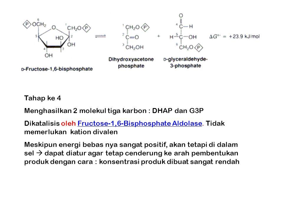Tahap ke 4 Menghasilkan 2 molekul tiga karbon : DHAP dan G3P Dikatalisis oleh Fructose-1,6-Bisphosphate Aldolase. Tidak memerlukan kation divalenFruct
