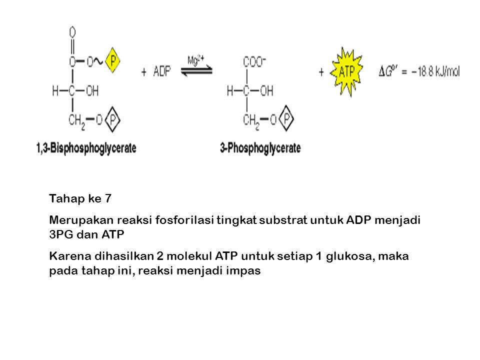 Tahap ke 7 Merupakan reaksi fosforilasi tingkat substrat untuk ADP menjadi 3PG dan ATP Karena dihasilkan 2 molekul ATP untuk setiap 1 glukosa, maka pada tahap ini, reaksi menjadi impas