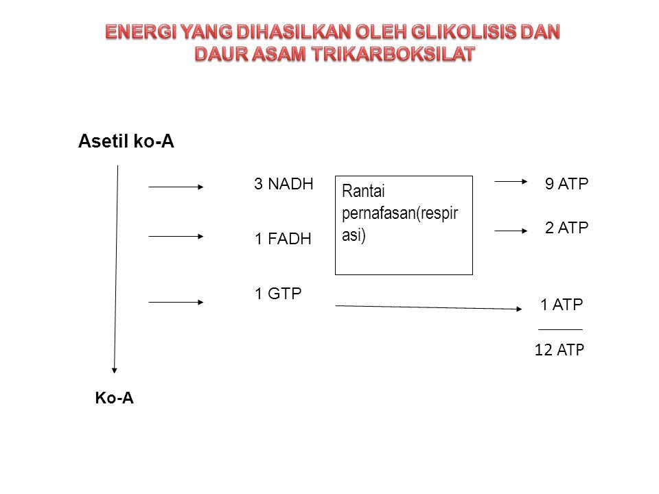 Rantai pernafasan(respir asi) Asetil ko-A 3 NADH 1 FADH 1 GTP 9 ATP 2 ATP 1 ATP Ko-A 12 ATP