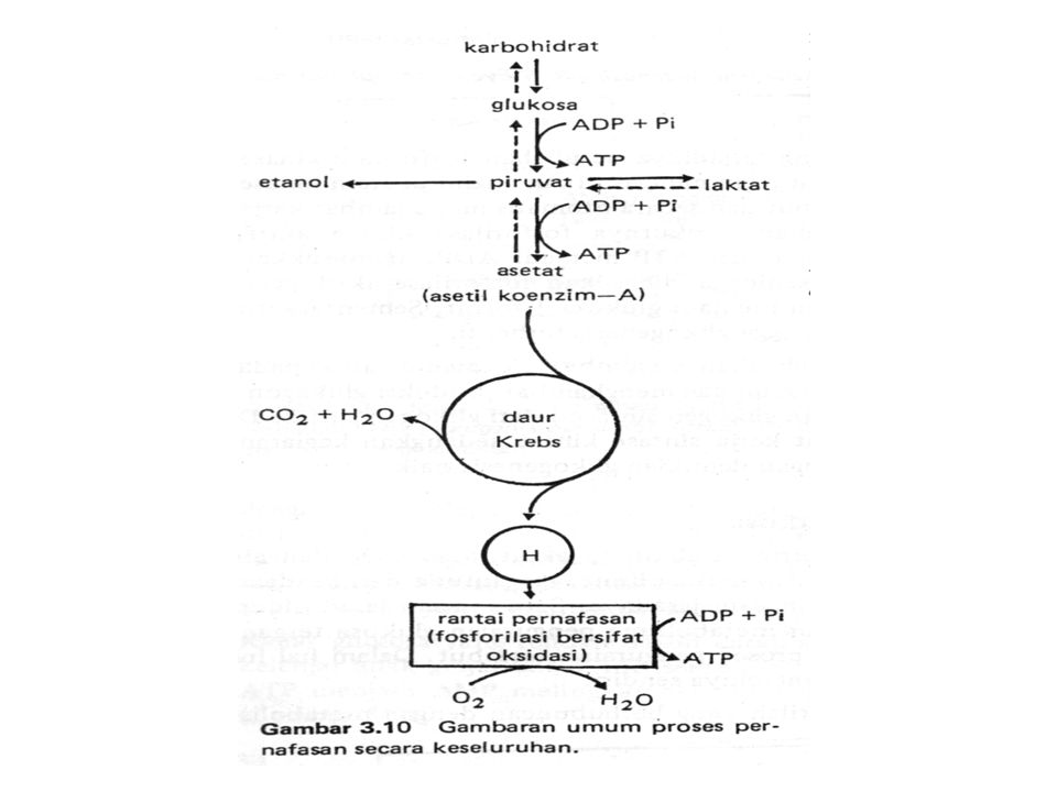 Secara ringkas, jalur-jalur metabolisme karbohidrat dijelaskan sebagai berikut: 1.Glukosa sebagai bahan bakar utama akan mengalami glikolisis (dipecah) menjadi 2 piruvat jika tersedia oksigen.