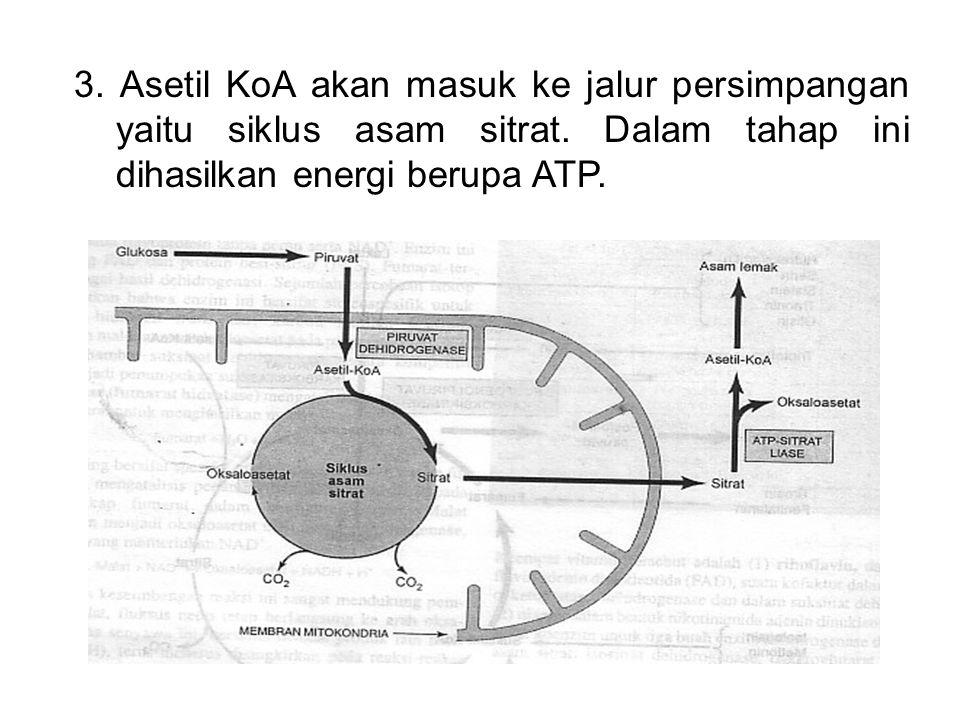 3. Asetil KoA akan masuk ke jalur persimpangan yaitu siklus asam sitrat. Dalam tahap ini dihasilkan energi berupa ATP.