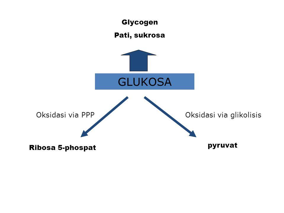Glycogen Pati, sukrosa GLUKOSA Oksidasi via PPPOksidasi via glikolisis Ribosa 5-phospat pyruvat