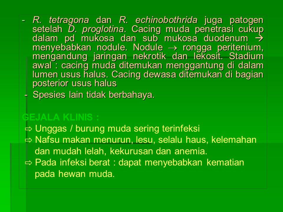 -R.tetragona dan R. echinobothrida juga patogen setelah D.