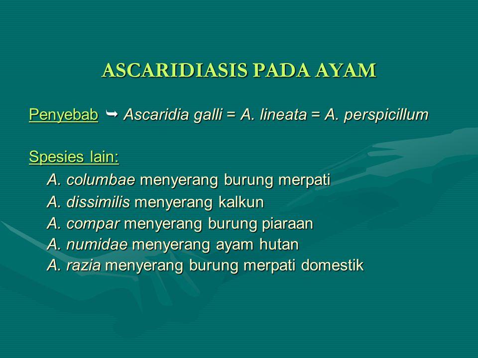 ASCARIDIASIS PADA AYAM Penyebab  Ascaridia galli = A. lineata = A. perspicillum Spesies lain: A. columbae menyerang burung merpati A. dissimilis meny