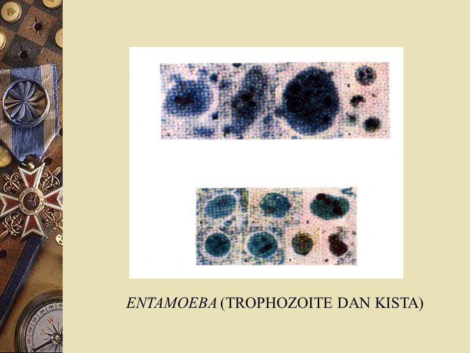 ENTAMOEBA (TROPHOZOITE DAN KISTA)