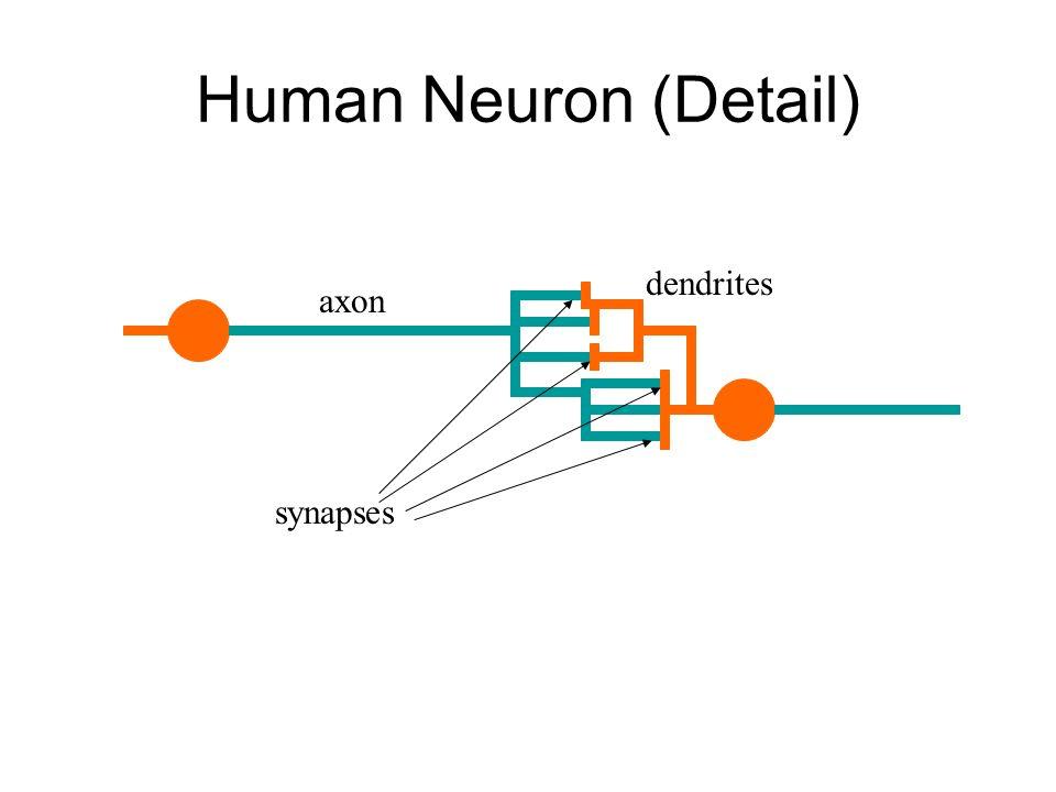 Human Neuron (Detail) synapses axon dendrites