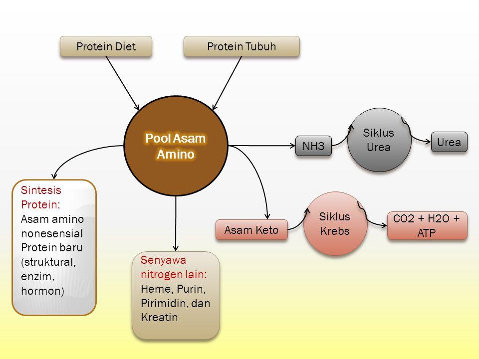 Siklus Urea Protein Diet Protein Tubuh Asam Keto Sintesis Protein: Asam amino nonesensial Protein baru (struktural, enzim, hormon) Senyawa nitrogen la