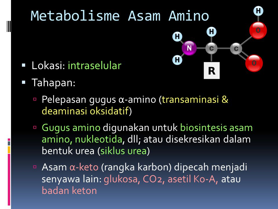 Metabolisme Asam Amino  Lokasi: intraselular  Tahapan:  Pelepasan gugus α-amino (transaminasi & deaminasi oksidatif)  Gugus amino digunakan untuk