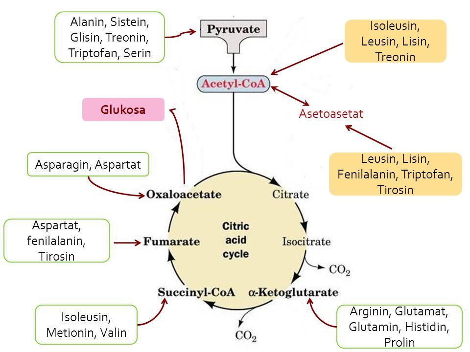 Alanin, Sistein, Glisin, Treonin, Triptofan, Serin Arginin, Glutamat, Glutamin, Histidin, Prolin Isoleusin, Metionin, Valin Asparagin, Aspartat Leusin