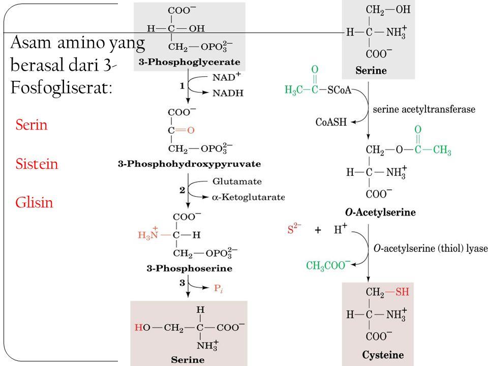 Asam amino yang berasal dari 3- Fosfogliserat: Serin Sistein Glisin