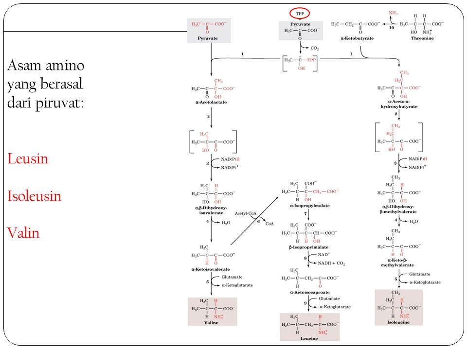 Asam amino yang berasal dari piruvat: Leusin Isoleusin Valin