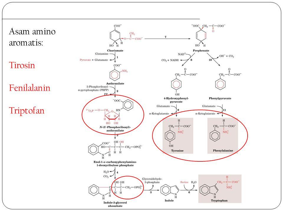 Asam amino aromatis: Tirosin Fenilalanin Triptofan