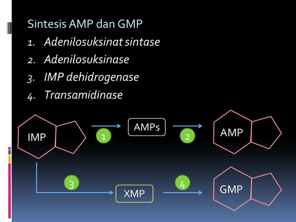 Sintesis AMP dan GMP 1. Adenilosuksinat sintase 2. Adenilosuksinase 3. IMP dehidrogenase 4. Transamidinase AMPs XMP IMP AMP GMP 1 34 2