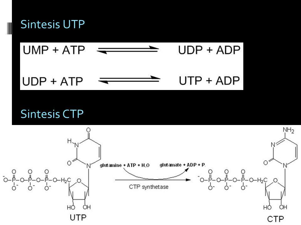 Sintesis UTP Sintesis CTP