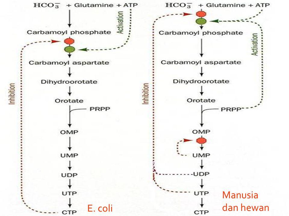 E. coli Manusia dan hewan