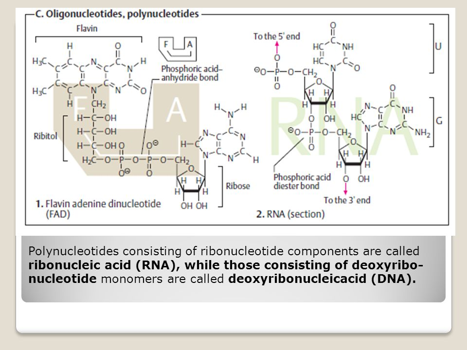 Polynucleotides consisting of ribonucleotide components are called ribonucleic acid (RNA), while those consisting of deoxyribo- nucleotide monomers ar