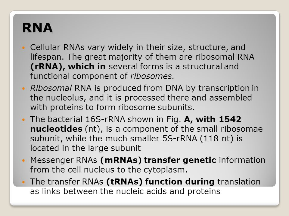 RNA Cellular RNAs vary widely in their size, structure, and lifespan. The great majority of them are ribosomal RNA (rRNA), which in several forms is a