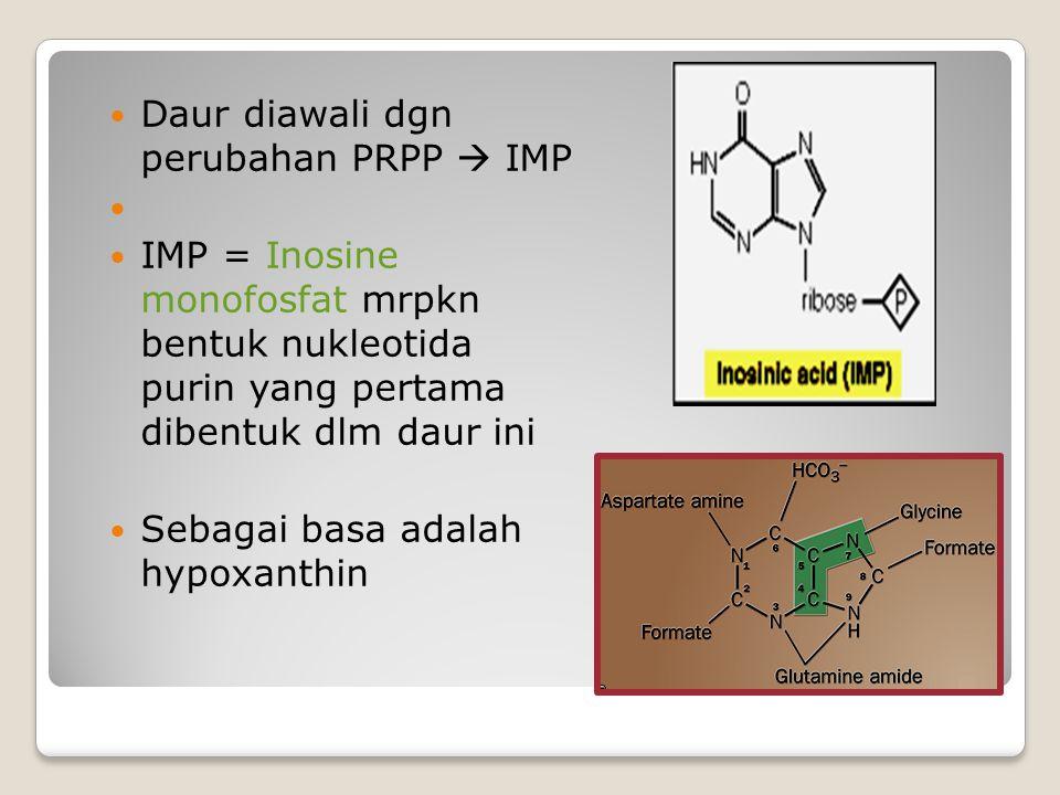 Daur diawali dgn perubahan PRPP  IMP IMP = Inosine monofosfat mrpkn bentuk nukleotida purin yang pertama dibentuk dlm daur ini Sebagai basa adalah hy