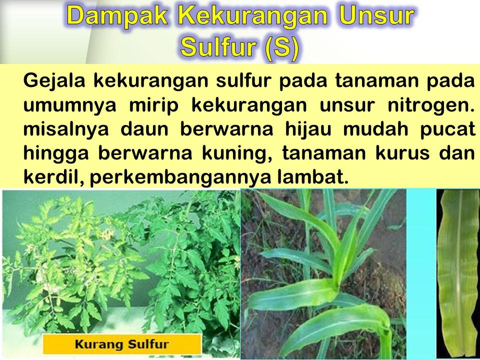Gejala kekurangan sulfur pada tanaman pada umumnya mirip kekurangan unsur nitrogen.