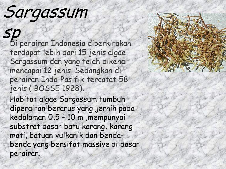 Sargassum sp Di perairan Indonesia diperkirakan terdapat lebih dari 15 jenis algae Sargassum dan yang telah dikenal mencapai 12 jenis. Sedangkan di pe