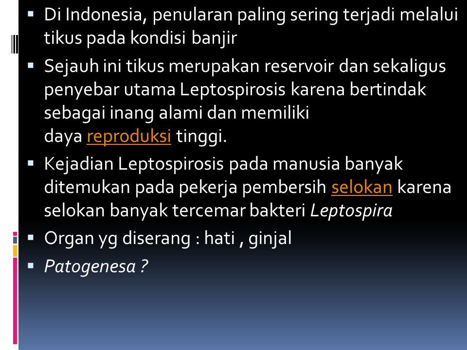 Urin tikus merupakan sumber penularan Leptospirosistikus