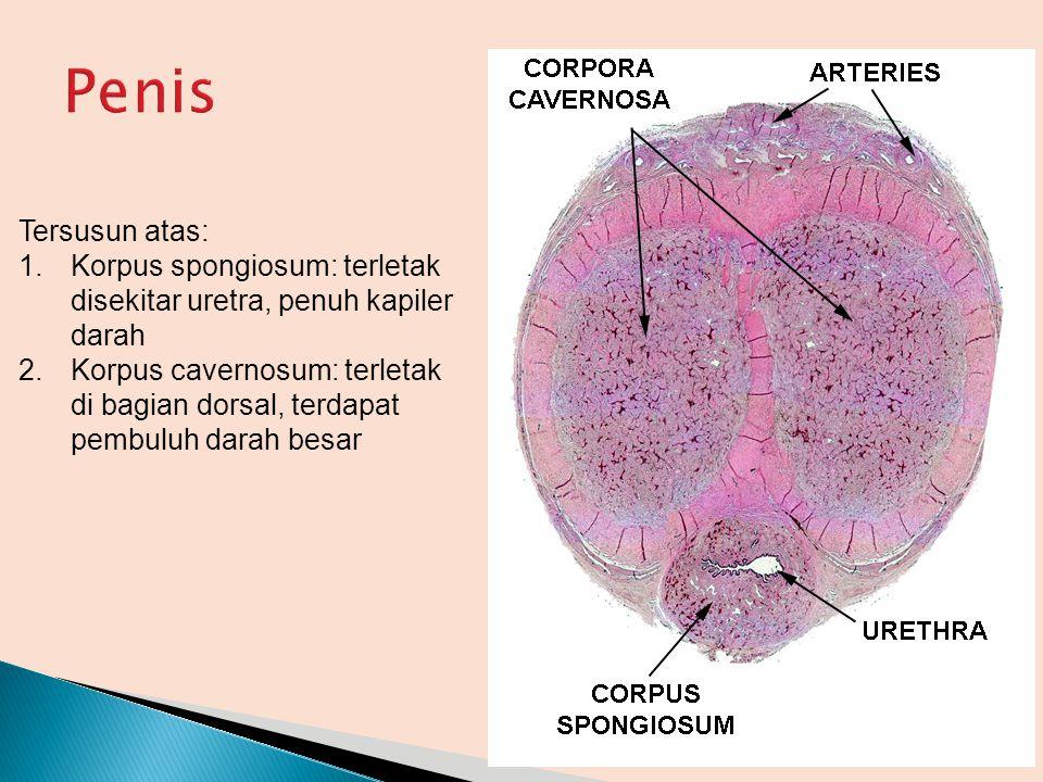 Tersusun atas: 1.Korpus spongiosum: terletak disekitar uretra, penuh kapiler darah 2.Korpus cavernosum: terletak di bagian dorsal, terdapat pembuluh d