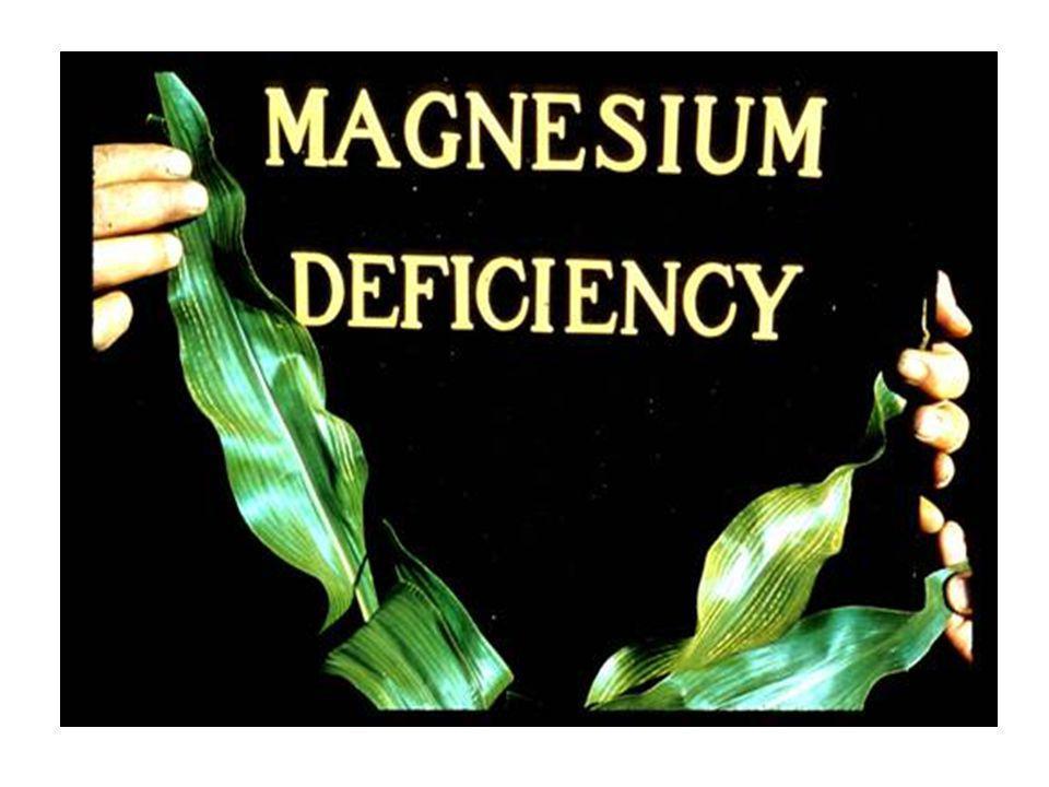 Mg Deficiency Symptoms The classic deficiency symptom is interveinal chlorosis of the lower/older leaves.
