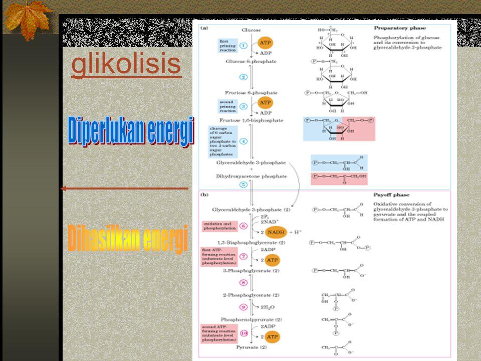 Siklus glioksilat