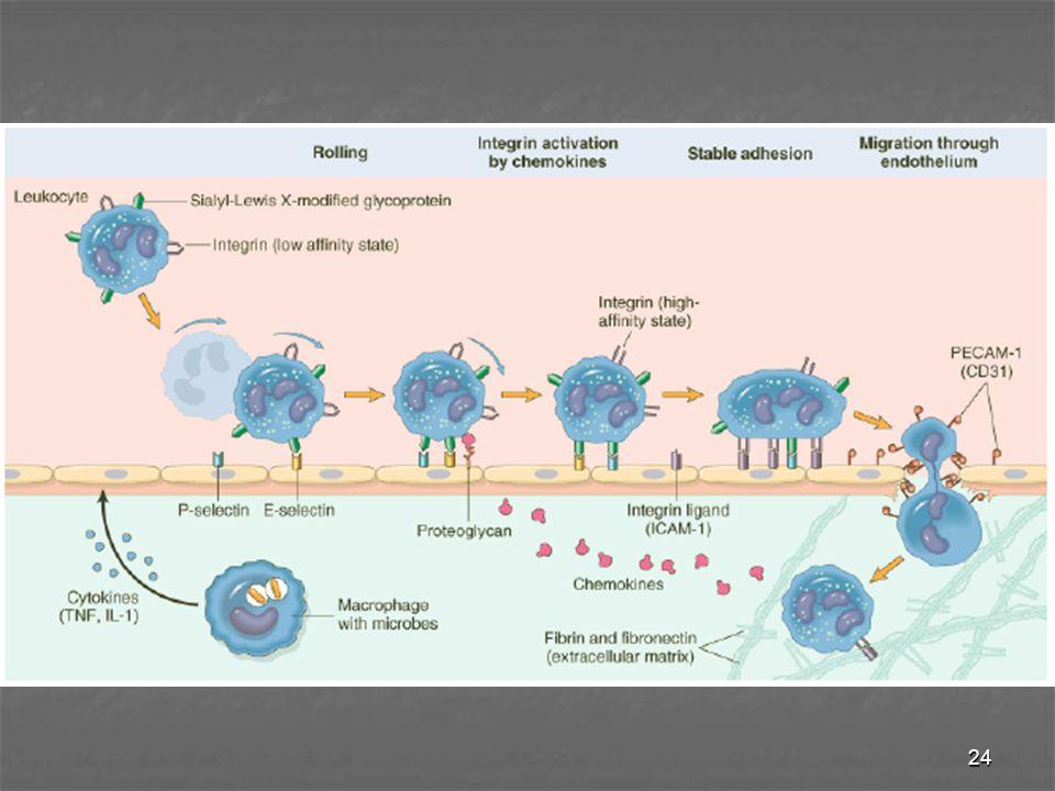 25 Marginasi & rolling Darah mengalir dr kapiler → venula pascakapiler : - aliran laminar - erit (diskoid, lebih ) leuko t'dorong dr sumbu sentral pemb drh → b'integrasi dg endotel