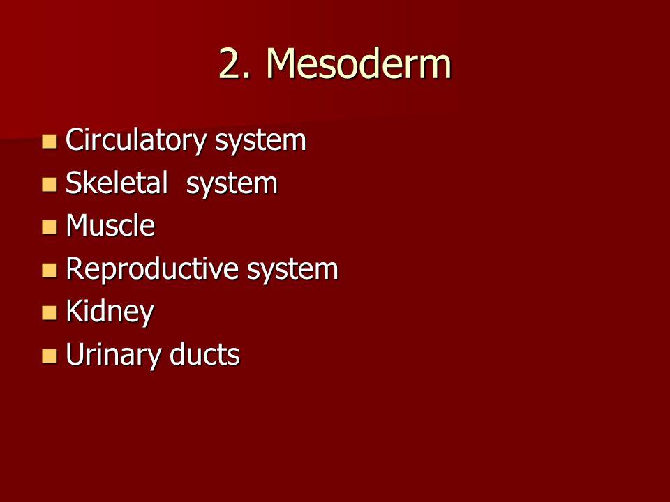 2. Mesoderm Circulatory system Circulatory system Skeletal system Skeletal system Muscle Muscle Reproductive system Reproductive system Kidney Kidney