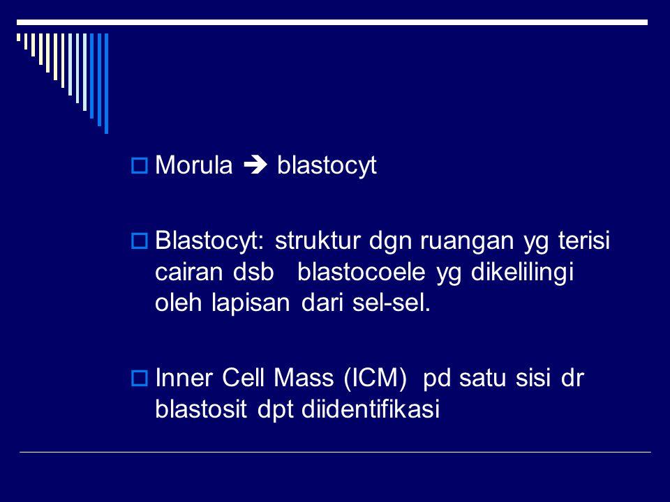  Morula  blastocyt  Blastocyt: struktur dgn ruangan yg terisi cairan dsb blastocoele yg dikelilingi oleh lapisan dari sel-sel.  Inner Cell Mass (I