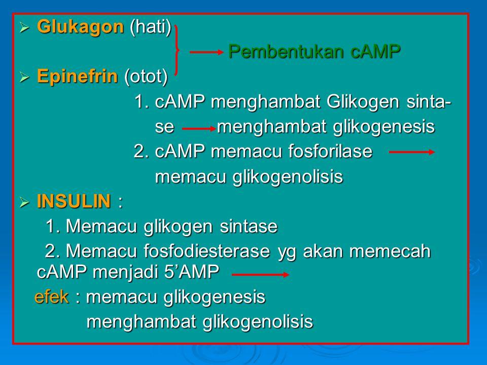  Glukagon (hati) Pembentukan cAMP Pembentukan cAMP  Epinefrin (otot) 1. cAMP menghambat Glikogen sinta- 1. cAMP menghambat Glikogen sinta- se mengha