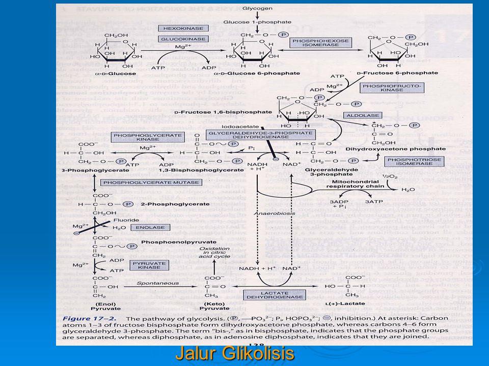 GLIKOGENOLISIS  Proses pemecahan glikogen  Dalam otot : * tujuannya untuk mendapat energi bagi otot * tujuannya untuk mendapat energi bagi otot * hasil akhirnya : piruvat / laktat sebab gluko- * hasil akhirnya : piruvat / laktat sebab gluko- sa 6-p yg dihasilkan dr glikogenolisis masuk ke jalur sa 6-p yg dihasilkan dr glikogenolisis masuk ke jalur glikolisis di otot glikolisis di otot  Dalam hati : * tujuannya : untuk mempertahankan kadar glukosa * tujuannya : untuk mempertahankan kadar glukosa darah di antara dua waktu makan darah di antara dua waktu makan * Glukosa 6-p akan diubah menjadi glukosa * Glukosa 6-p akan diubah menjadi glukosa Glukosa 6-p + H 2 O Glukosa + Pi Glukosa 6-p + H 2 O Glukosa + Pi Glukosa 6-fosfatase Glukosa 6-fosfatase