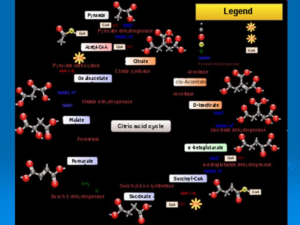 GLIKOGENESIS  Sintesis glikogen dari glukosa  Terjadi di dalam hati dan otot  Reaksi 1 : Mg ++ Glukosa + ATP Glukosa 6-p + ADP Glukosa + ATP Glukosa 6-p + ADP Glukokinase / Heksokinase Glukokinase / Heksokinase  Reaksi 2 : Glukosa 6-p Glukosa 1-p Glukosa 6-p Glukosa 1-p Fosfoglukomutase Fosfoglukomutase  Reaksi 3 : Glukosa 1-p + UTP UDPG + Pirofosfat Glukosa 1-p + UTP UDPG + Pirofosfat UDPG Pirofosforilase UDPG Pirofosforilase
