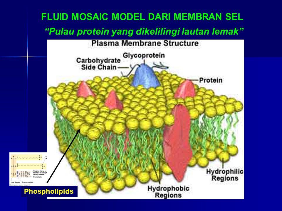 """FLUID MOSAIC MODEL DARI MEMBRAN SEL """"Pulau protein yang dikelilingi lautan lemak"""" Phospholipids"""