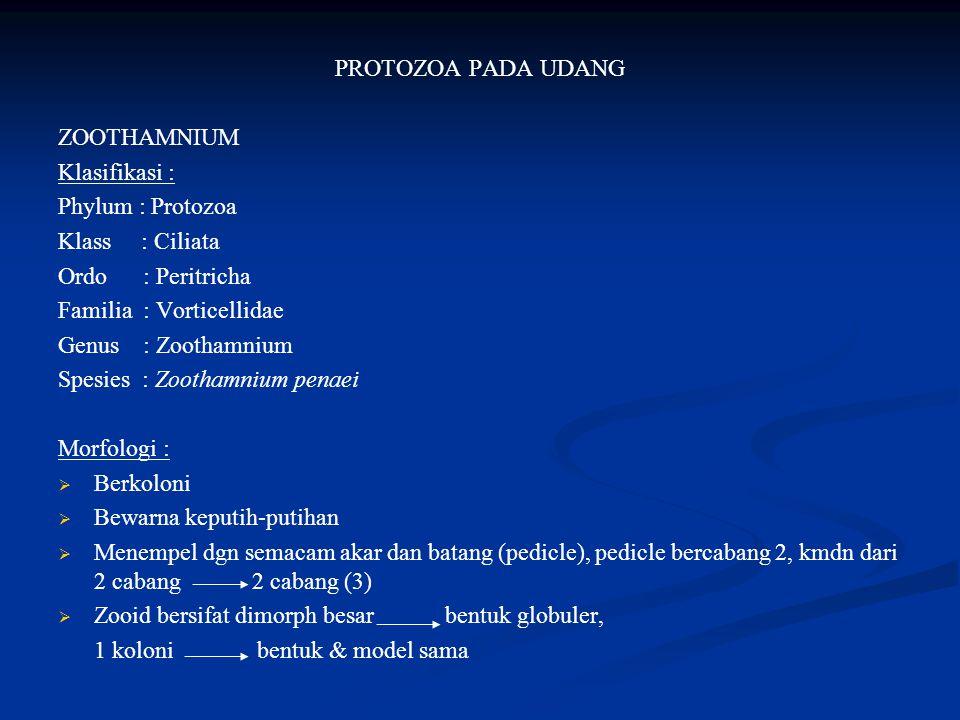 PROTOZOA PADA UDANG ZOOTHAMNIUM Klasifikasi : Phylum : Protozoa Klass : Ciliata Ordo : Peritricha Familia : Vorticellidae Genus : Zoothamnium Spesies