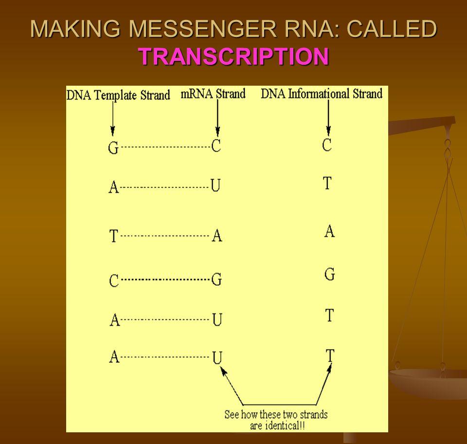 MAKING MESSENGER RNA: CALLED TRANSCRIPTION