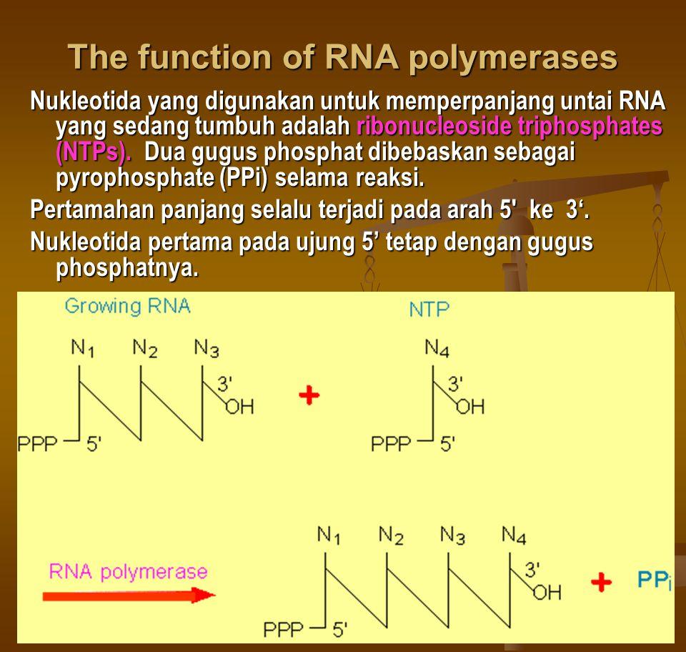 The function of RNA polymerases Nukleotida yang digunakan untuk memperpanjang untai RNA yang sedang tumbuh adalah ribonucleoside triphosphates (NTPs).