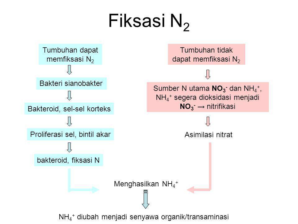 Fiksasi N 2 Tumbuhan dapat memfiksasi N 2 Tumbuhan tidak dapat memfiksasi N 2 Bakteri sianobakter Bakteroid, sel-sel korteks bakteroid, fiksasi N Prol